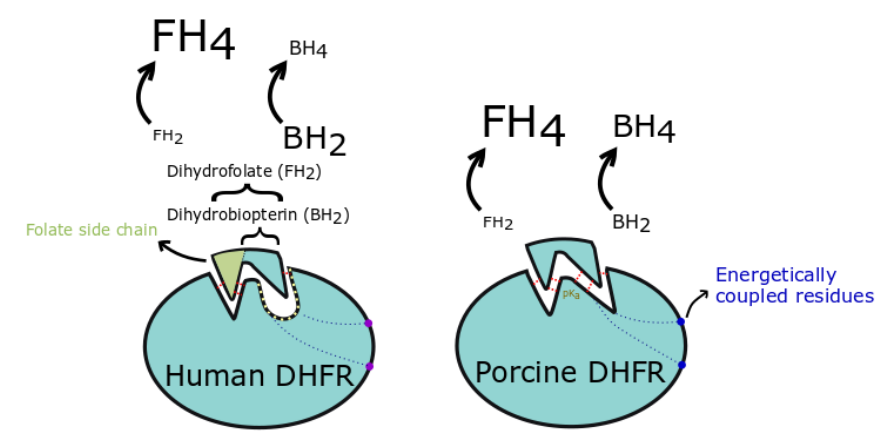 Cellular Type-Specific Tetrahydrobiopterin Recycling by Dihydrofolate Reductase
